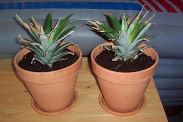 نحوه کاشت آناناس در خانه