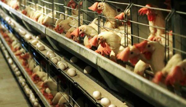 چالش تازه برای مرغداران ، احتمال کشتار جوجه های یک روزه به دلیل کمبود خوراک